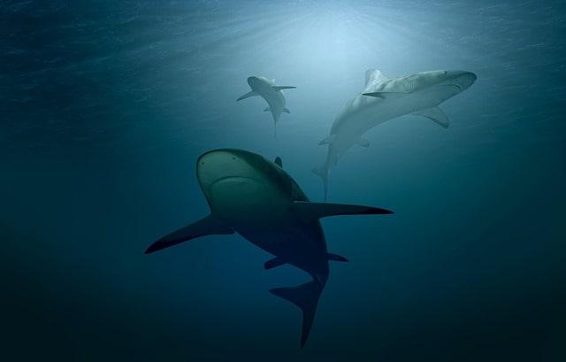 サメの群れ